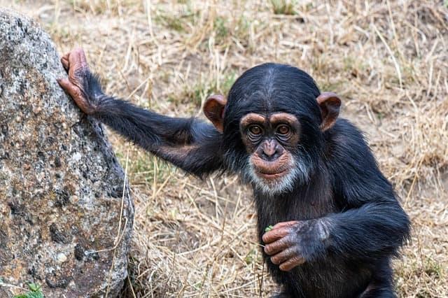 Mono sujetado a piedra